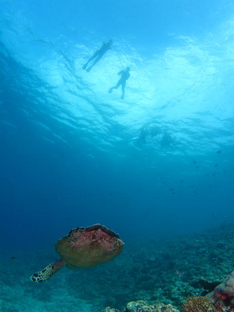 沖縄 ウミガメ ダイビング