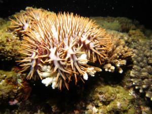 サンゴの産卵とオニヒトデ