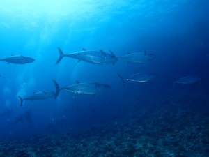 沖縄 ダイビング 粟国 ドリフト イソマグロ