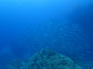 沖縄 ダイビング 粟国 ドリフト ギンガメアジ