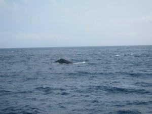 沖縄 ダイビング 慶良間 クジラ