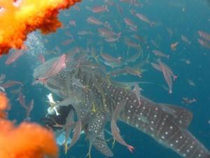 沖縄 ダイビング ジンベエザメ