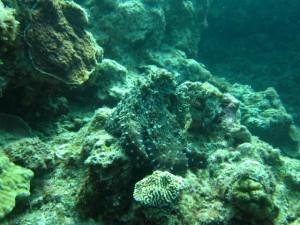 沖縄 ダイビング タコ