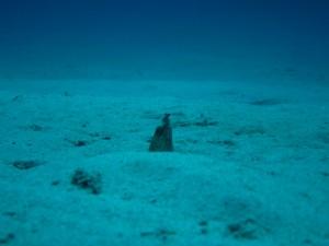 沖縄 ダイビング 慶良間 ミナミホタテウミヘビ