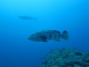 沖縄 ダイビング 粟国 ドリフ