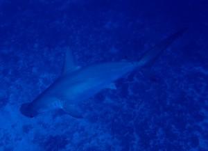 沖縄 ダイビング ハンマーヘッドシャーク