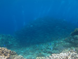 沖縄 ダイビング 粟国 ギンガメアジ