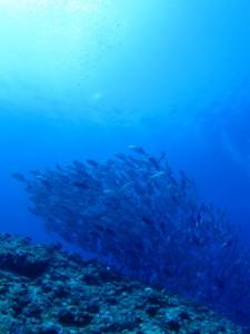 粟国島 ダイビング ギンガメアジ