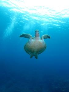 沖縄 ダイビング アオウミガメ