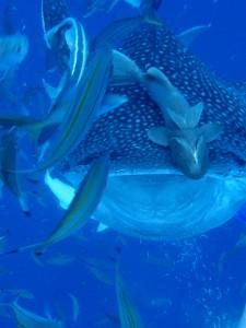 沖縄 ダイビング ジンベエザメ 真栄田岬 体験ダイビング