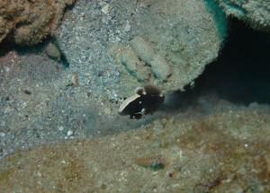 沖縄 ダイビング オドリハゼ
