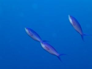 沖縄 ダイビング ハナゴイ