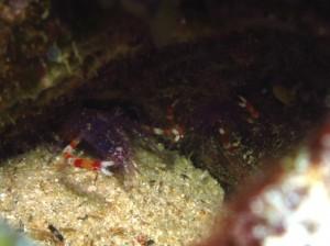 沖縄 ダイビング バイオレットボクサーシュリンプ