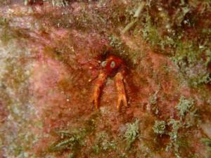 沖縄 ダイビング アナモリチュウコシオリエビ