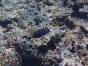 沖縄 ダイビング クロハコフグ