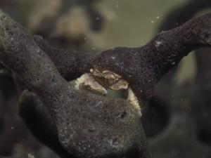 沖縄 ダイビング カイカムリの仲間