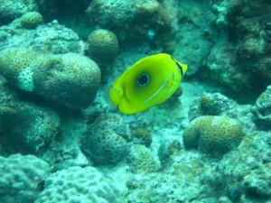 沖縄 ダイビング ウミヅキチョウチョウウオ