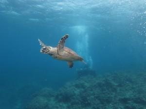 沖縄 体験ダイビング ウミガメ 慶良間