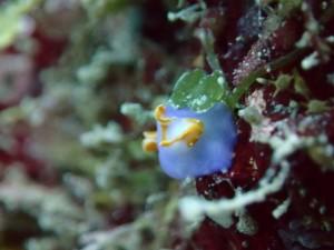 沖縄 ダイビング ムラサキウミコチョウ