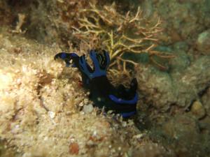 沖縄 ダイビング ミドリシュウグウウミウシ