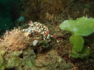 沖縄 ダイビング ホシゾラウミウシ