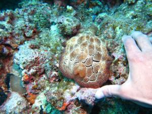 沖縄 ダイビング 巨大ウミウシ