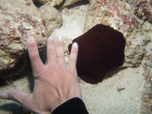 沖縄 ダイビング フシエラガイの仲間