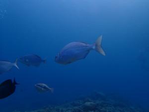 沖縄 ダイビング イスズミ