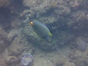 沖縄 ダイビング ミヤコテングハギ