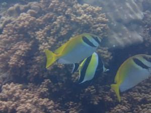 沖縄 ダイビング ヒメアイゴ