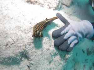 沖縄 体験ダイビング イシガキリュウグウウミウシ