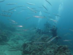 沖縄 ダイビング カマスの群れ