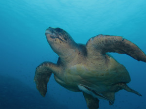 沖縄 ダイビング アカウミガメ