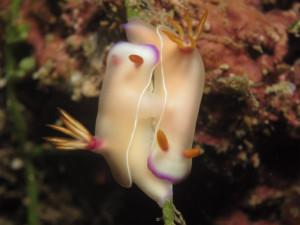 沖縄 ダイビング ウミウシの交接