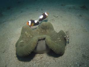 沖縄 ダイビング トウアカクマノミ