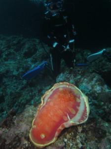 沖縄 ダイビング 辺戸岬 ミカドウミウシ