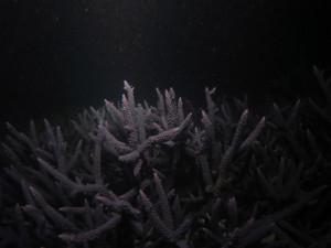 沖縄 ダイビング 読谷 サンゴ 産卵