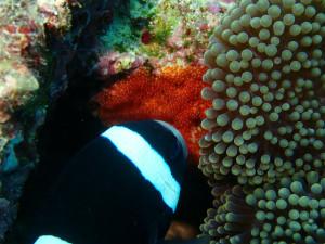 沖縄 ダイビング 砂辺 カクレクマノミ ハッチアウト