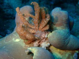 沖縄 ダイビング 砂辺 オオコノハウミウシ