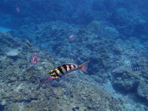 沖縄 ダイビング 慶良間 体験ダイビング セナスジベラ