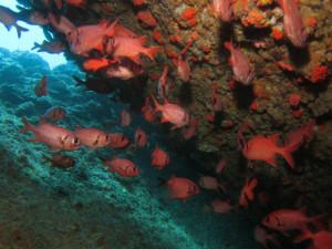 沖縄 ダイビング アカマツカサ