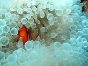沖縄 ダイビング イソギンチャクの白化