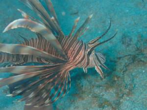 沖縄 ダイビング ハナミノカサゴ