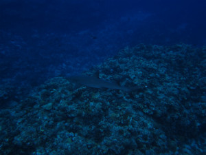 沖縄 ダイビング ネムリブカ