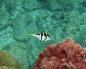 沖縄 ダイビング シマキンチャクフグ