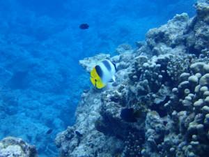 沖縄 ダイビング 慶良間 体験ダイビング スダレチョウチョウウオ