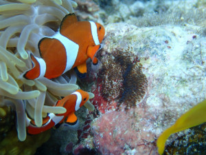 沖縄 体験ダイビング カクレクマノミ