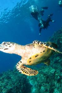 慶良間 体験ダイビング ウミガメ