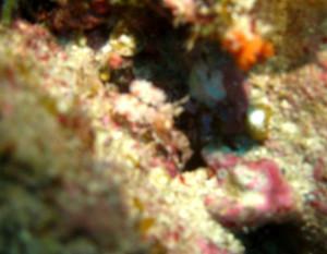 沖縄 ダイビング フリソデエビ