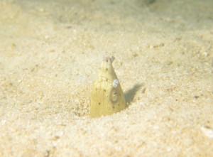 ミナミホタテウミヘビ オドリカクレエビ